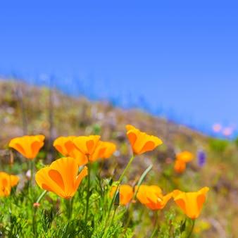 Coquelicots coquelicot en orange dans les champs de printemps
