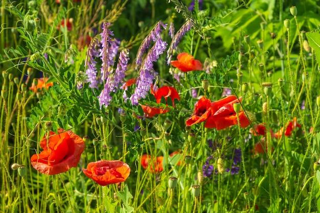 Coquelicots de fleurs sauvages dans l'herbe. fond de floraison d'été.