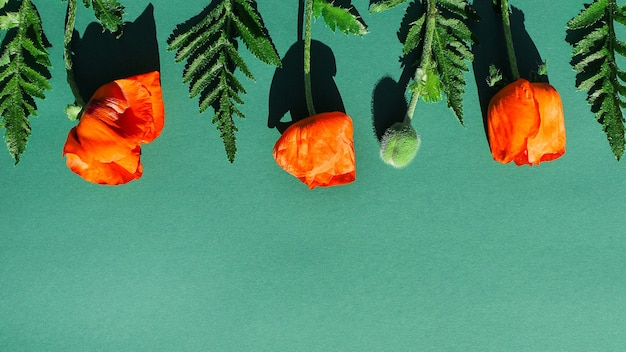 Coquelicots lumineux de jardin sur fond vert