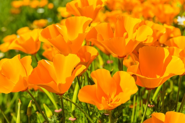 Coquelicots orange dans une prairie d'été aux beaux jours