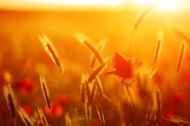 Coquelicots rouge vif dans un champ au coucher du soleil.