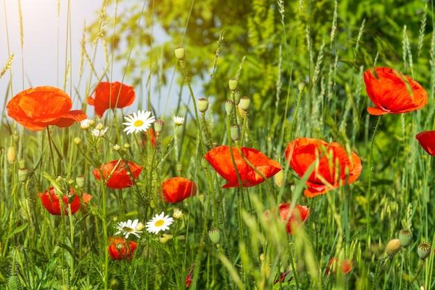 Coquelicots rouges et camomille avec de l'herbe verte dans le pré. fleurs de pré de fleurs sauvages d'été sur fond de ciel bleu.
