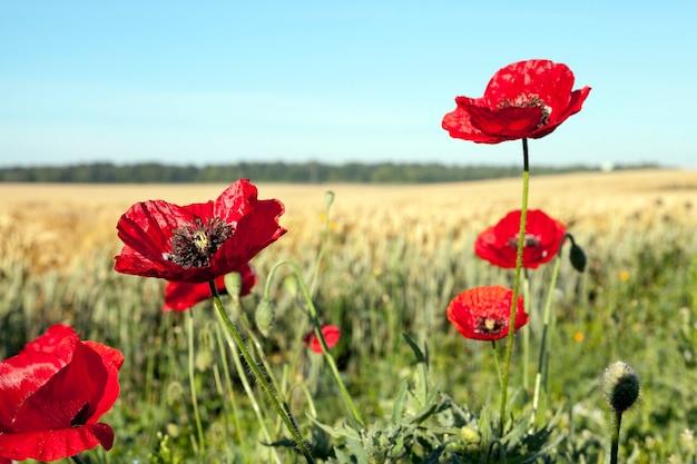 Coquelicots rouges dans un champ photographié en gros plan des fleurs de coquelicots rouges dans le champ d'été