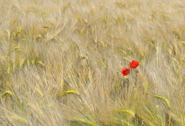 Coquelicots rouges en fleurs dans un champ de céréales dorées
