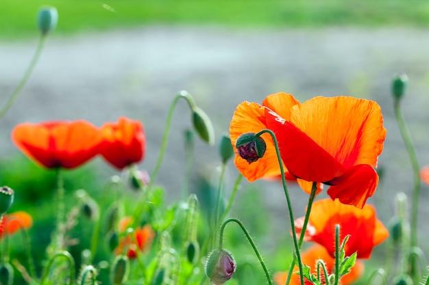 Coquelicots rouges en fleurs, gros plan de coquelicots rouges en fleurs .. été