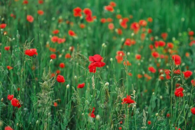 Coquelicots rouges sauvages dans le domaine. carte postale avec des fleurs rouges lentime. bourgeons de pavot. place pour le texte. arrière-plan