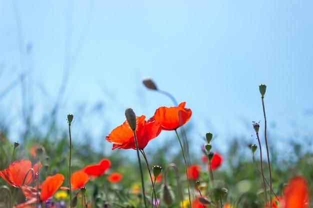 Coquelicots rouges vives sur la prairie de printemps. fond floral de printemps.