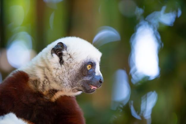 Coquerel sifaka dans son environnement naturel dans un parc national de l'île de madagascar.