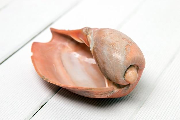 Coquillage cymbiola