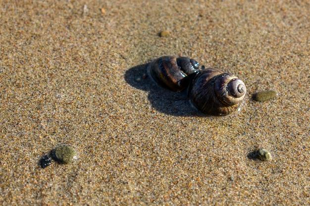 Coquille brune sur le sable en premier plan, petits cailloux, escargot de rivière en gros plan.