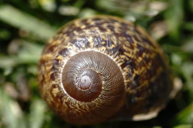 Coquille d'escargot sur l'herbe (helix aspersa)