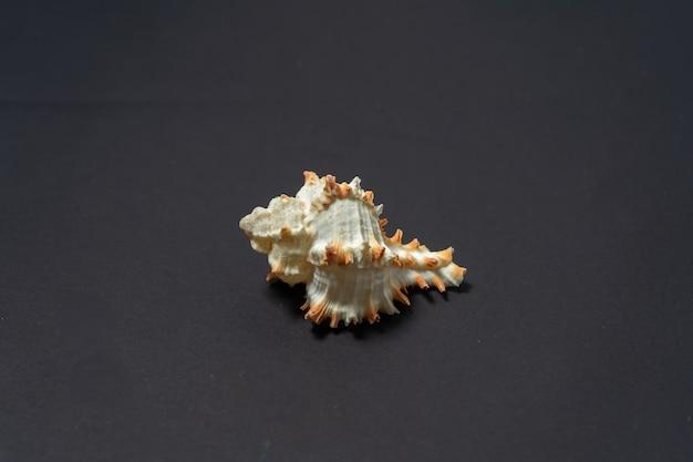 Coquille d'escargot de mer, genre murex, avec ornementation.