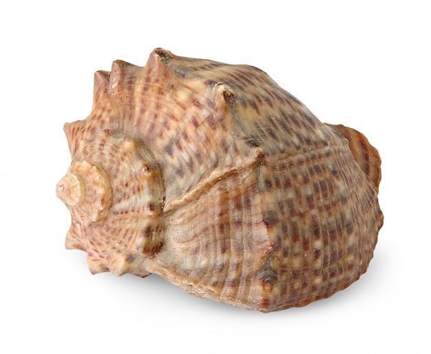Coquille de mer brune isolée
