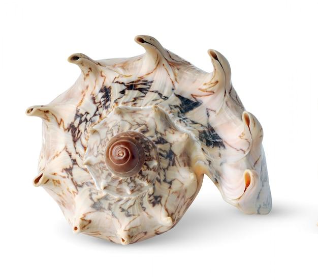 Coquille de mer rose à cornes en spirale isolé
