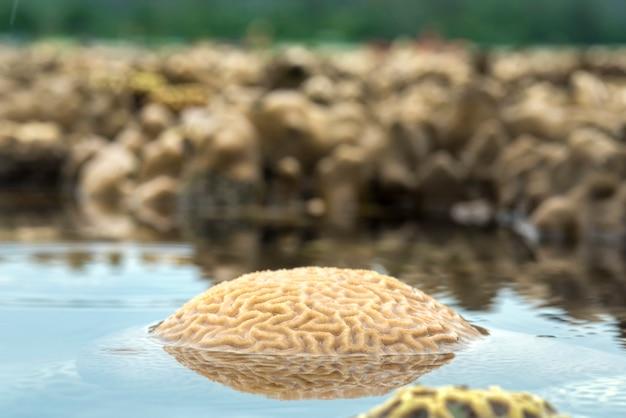 Corail cerveau rainuré eau peu profonde