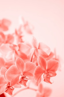 Corail vivant. la fleur d'orchidée phalaenopsis se développe à tenerife, dans les îles canaries. orchidées