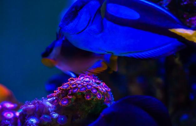 Coraux dans l'aquarium marin