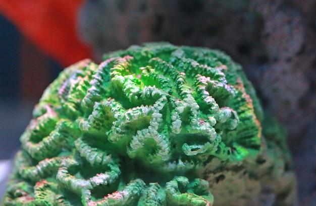 Coraux dans l'aquarium
