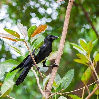 Corbeau sur un arbre dans la forêt en thaïlande