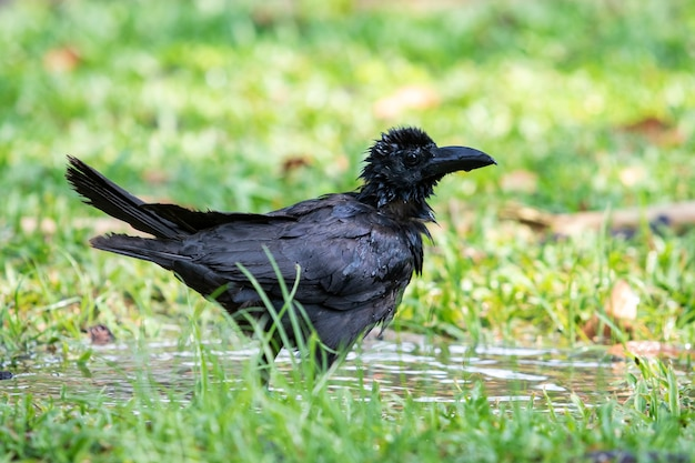 Corbeau arrosant dans un parc public