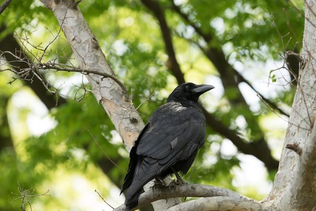 Corbeau sur une branche d'arbre