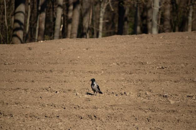 Corbeau dans un champ labouré près de la forêt