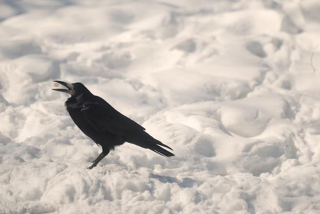 Corbeau dans un parc d'hiver