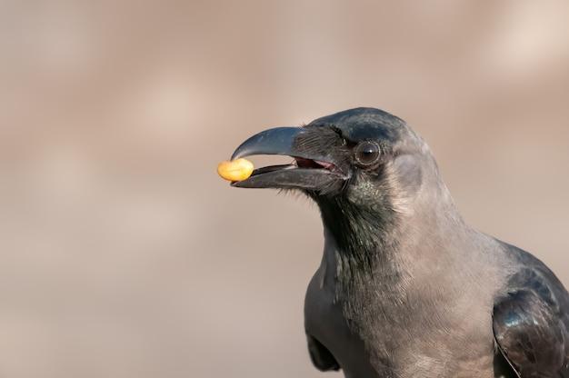Corbeau domestique avec une cacahuète dans son bec