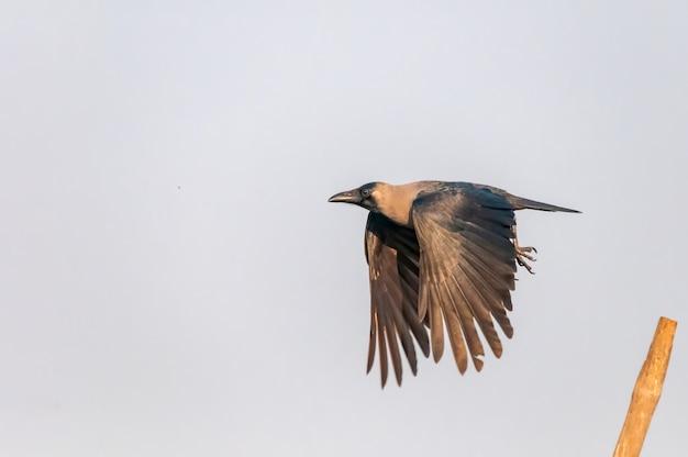 Corbeau domestique décollant d'un perchoir