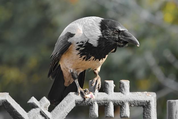 Un Corbeau Est Assis Sur La Clôture Photo Premium