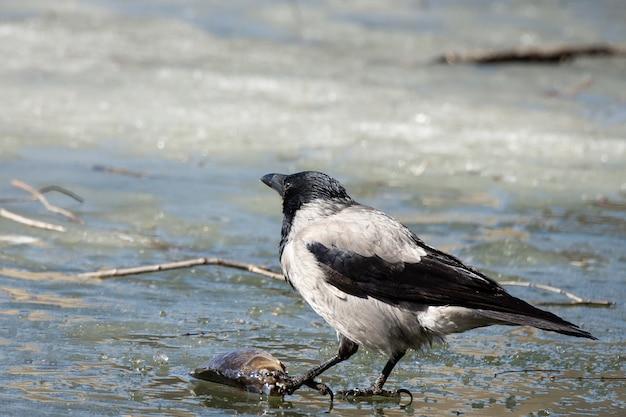 Le corbeau sur la glace