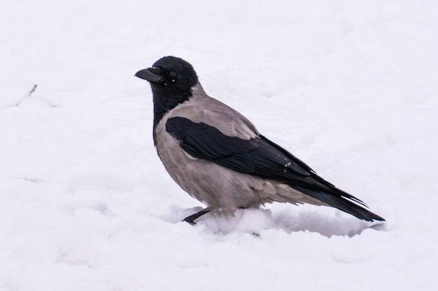 Un corbeau gris dans la rue en hiver. oulianovsk.