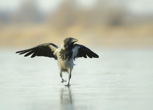 Un corbeau marche sur la glace