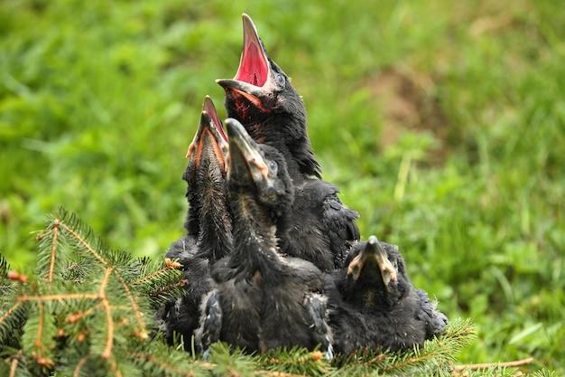 Corbeau noir dans l'habitat naturel