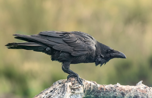 Corbeau en position accroupie, perché sur une bûche