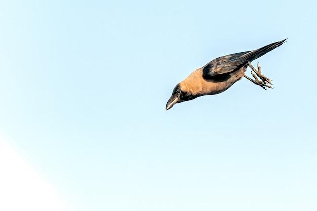 Un corbeau sautant en l'air