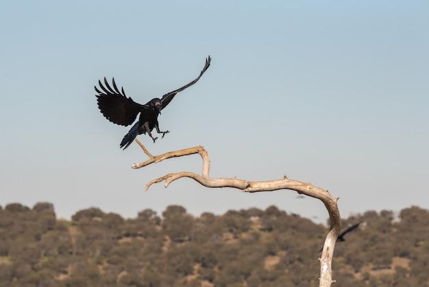 Corbeau sauvage en vol avant d'atterrir sur une branche