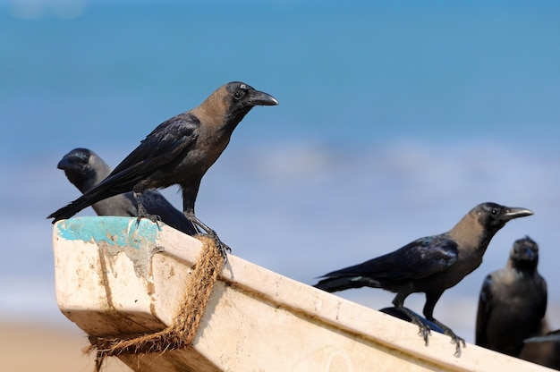Corbeaux assis sur un bateau de pêche. sri lanka
