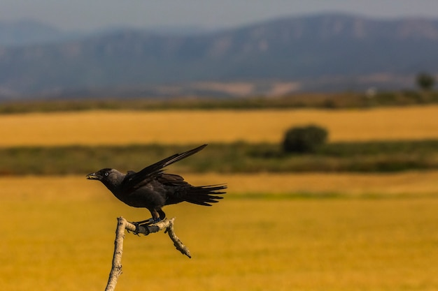Corbeaux (corvus corax) au printemps à montgai, lleida, catalogne, espagne. l'europe 