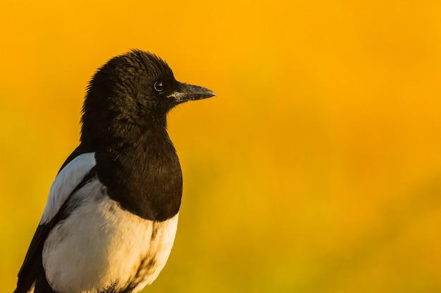 Corbeaux (corvus Corax) Au Printemps à Montgai, Lleida, Catalogne, Espagne. L'europe  Photo Premium
