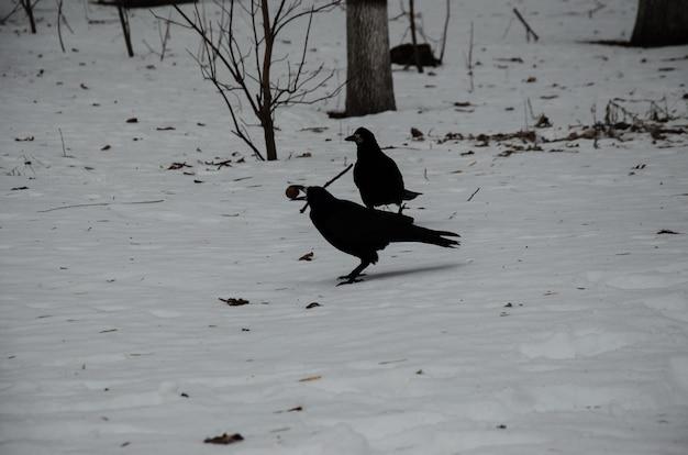 Corbeaux sur une neige dans le parc de la ville en hiver