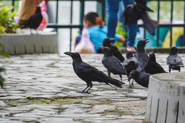 Les corbeaux recherchent de la nourriture auprès des personnes qui visitent le zoo.