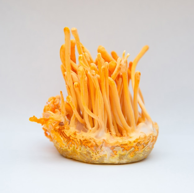 Cordyceps militaris est une espèce de champignon dans la bouteille à la température de contrôle