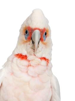Corella à long bec - cacatua tenuirostris sur un blanc isolé. il a un aspect similaire à celui de la petite corella et du cacatoès à huppe jaune