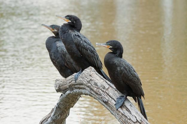Cormoran néotropical perché sur une branche avant de retourner à l'eau pour pêcher. portrait.