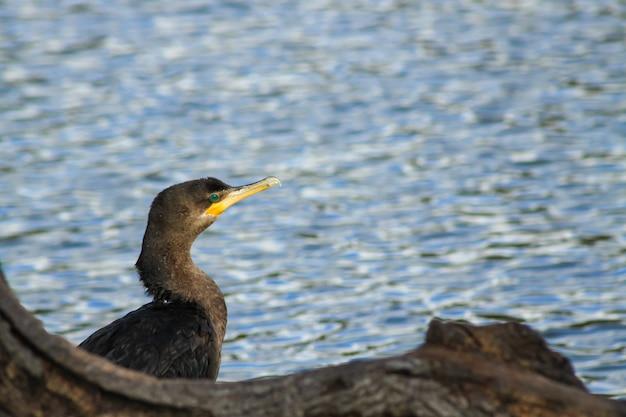 Cormoran néotropical perché sur une branche avant de retourner à l'eau pour pêcher.