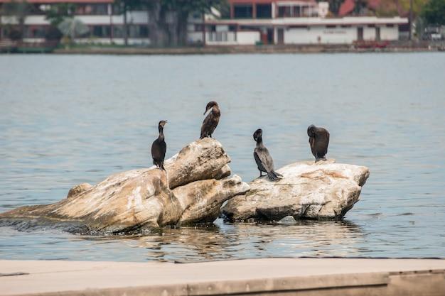 Cormoran Sur Un Rocher à La Lagune Rodrigo De Freitas à Rio De Janeiro. Photo Premium