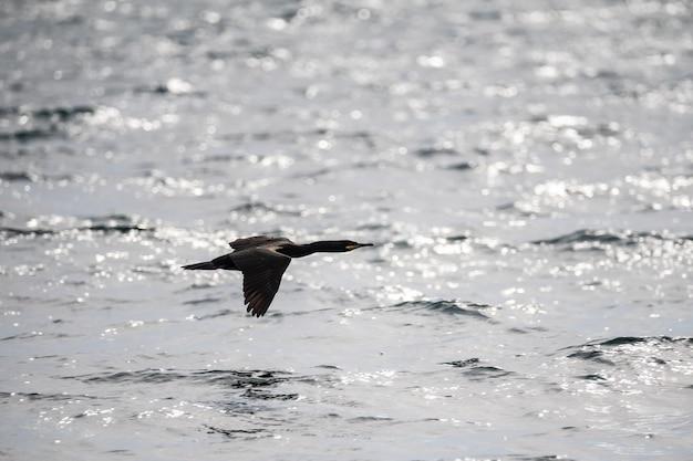 Un cormoran solitaire vole au-dessus de l'eau. oiseau noir en vol au dessus de la mer. la vie marine. fermer.