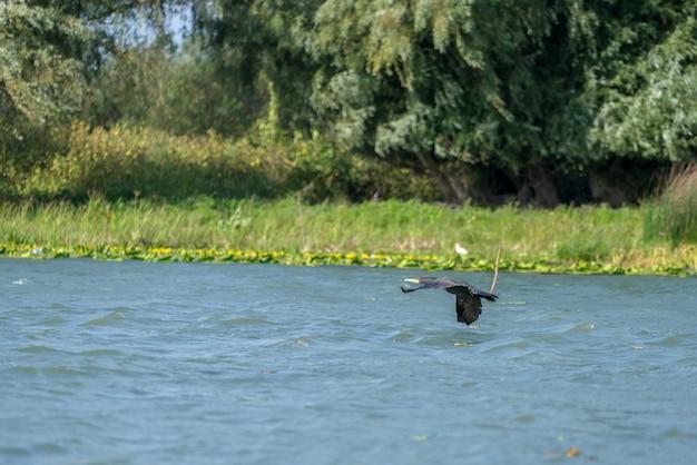 Cormoran volant le long du delta du danube