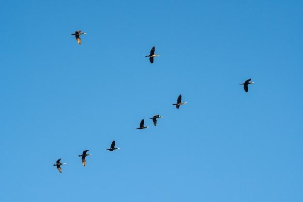 Cormorans volants contre le ciel bleu